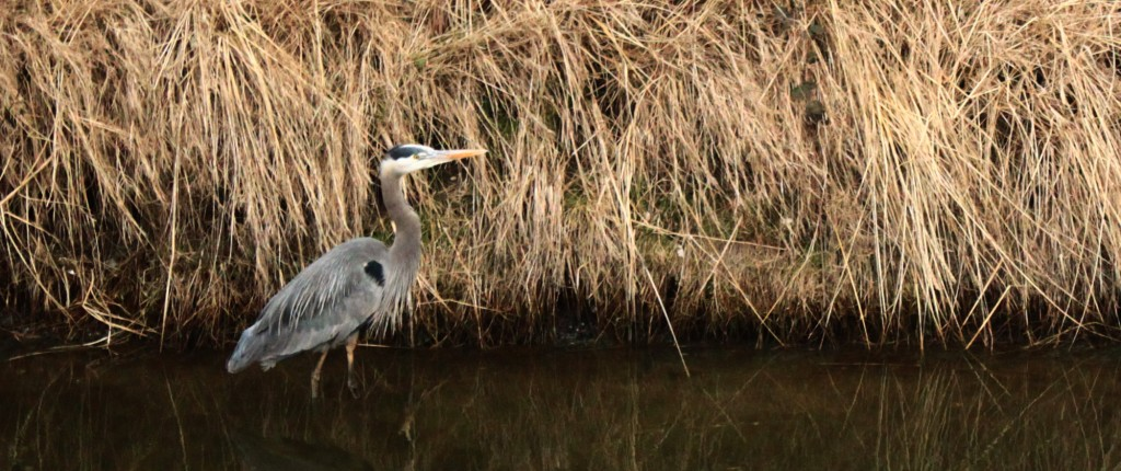 A Great Blue Heron looks for food