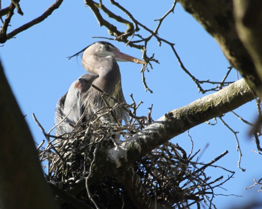 A Great Blue Heron in a nest in Stanley Park.