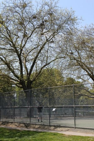 Great Blue Heron nests above the tennis courts in Stanley Park.