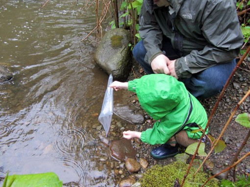 Releasing Chum Salmon into Eagle Creek in Burnaby
