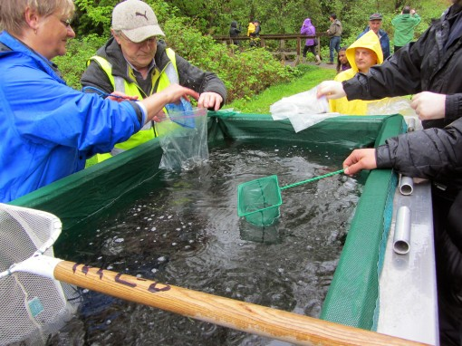 A trailer full of 75,000 Chum Salmon about to be released into Eagle Creek.