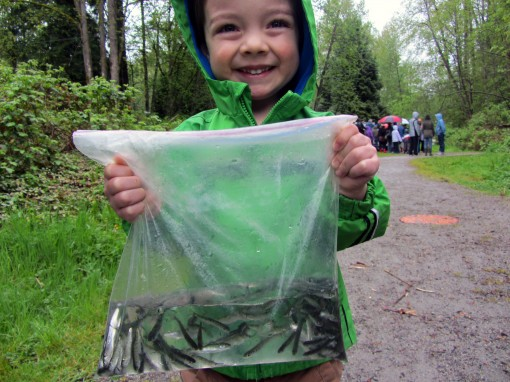 A bag full of Chum Salmon about to be released into Eagle Creek in Burnaby