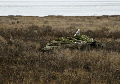 Snowy Owl near Boundary Bay