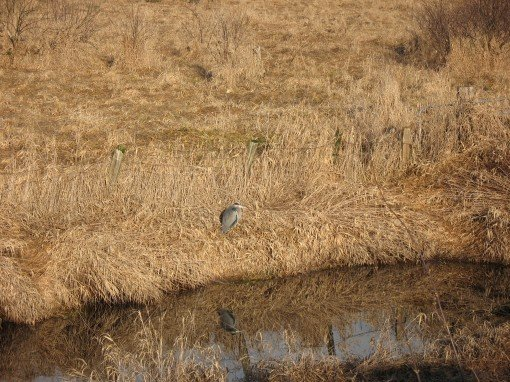 A Great Blue Heron at Colony Farm