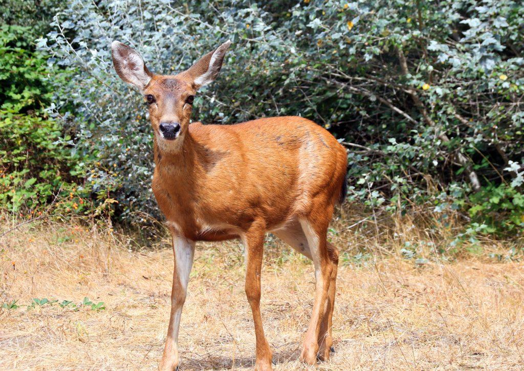 A deer on Barnston Island