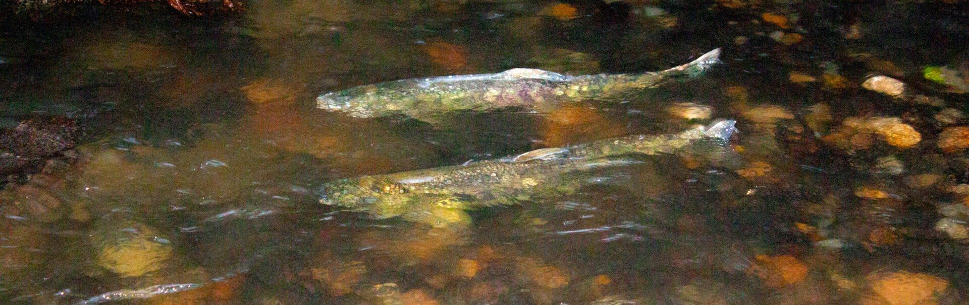 Where To See The Salmon Run