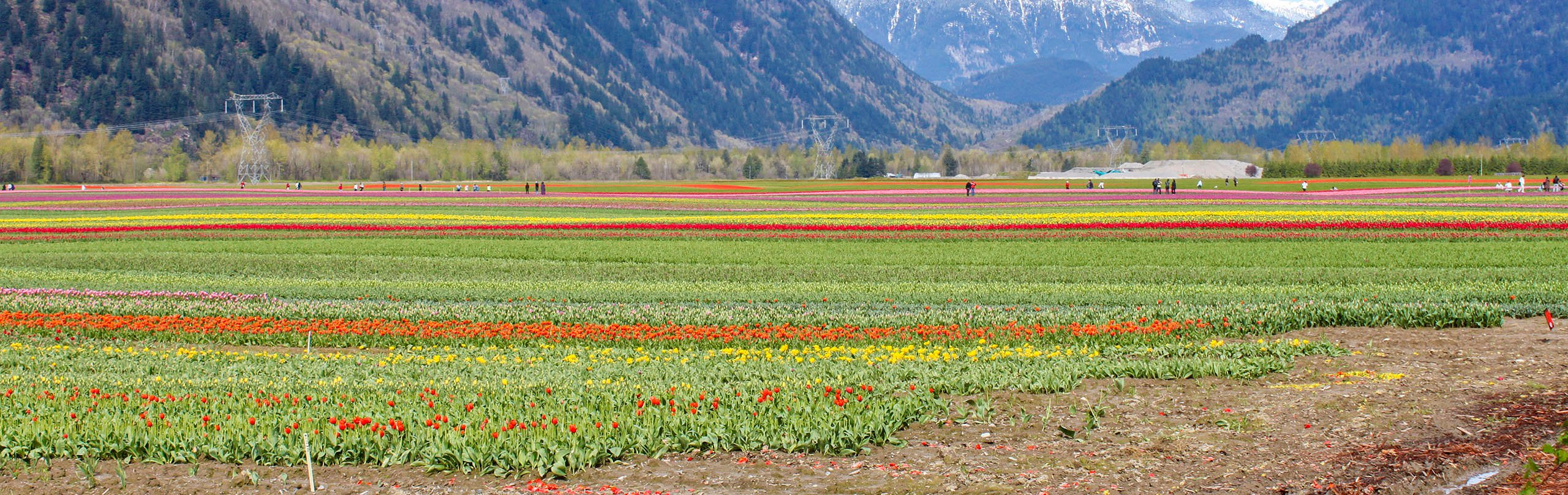 Tulips in the fields near Abbotsford, BC