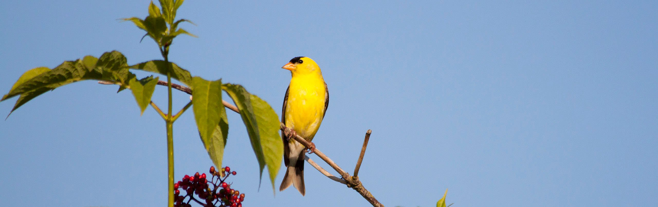 An American Goldfinch sits on a branch near White Rock, BC
