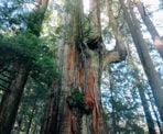 Located on the east slope of Mount Fromme, the Big Cedar Tree is enormous