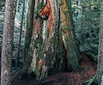 The base of the Big Cedar Tree shows the size of an old-growth tree in North Vancouver