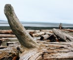 Logs along Boundary Beach that have washed ashore