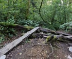 A wooden board crosses a log on the Dead Moped Trail on Burnaby Mountain