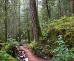 A trail passes one of the large Douglas Fir trees near the Ancient Grove in Hidden Grove