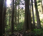 The sun shining through the green forest on Mount Thom in Chilliwack, BC