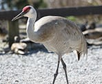 A sandhill crane at the Reifel Bird Sanctuary in Delta, BC