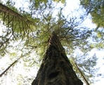 A Douglas Fir Tree is one of three remaining along the Seven Sisters Trail near Cultus Lake