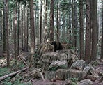 A huge stump along the Lower Loop of the Woodland Walk Trail in Coquitlam
